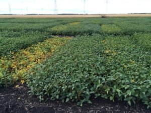 Soybean variety trial site in September, when maturity ratings begin