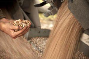 Hands holding grain.